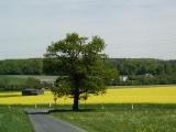 Eiche bei Wilhelmsdorf