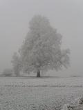 Winterlinde im Dezember 2007
